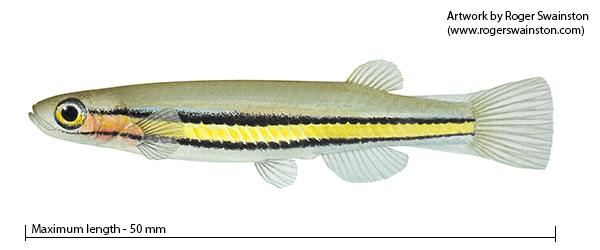 Black-stripe minnow Galaxiella nigrostriata