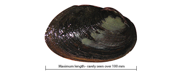 Carters freshwater mussel Westralunio carteri