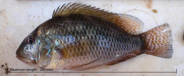 Pearl cichlid Geophagus brasiliensis