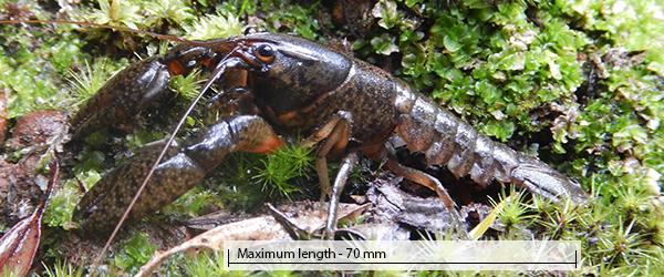 Restricted gilgie - Cherax crassimanus