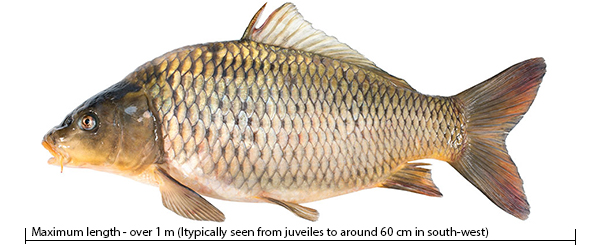 Common Carp Healthy Rivers