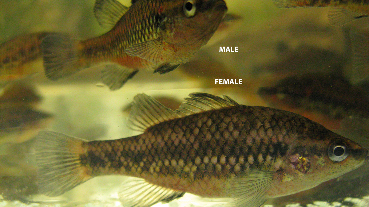 Western pygmy perch