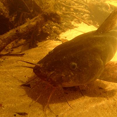 Freshwater cobbler Tandanus bostocki