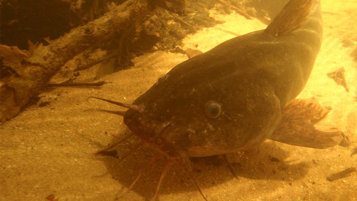 Freshwater cobbler