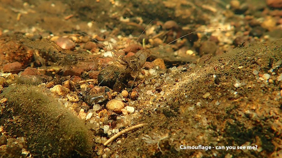 South-west glass shrimp