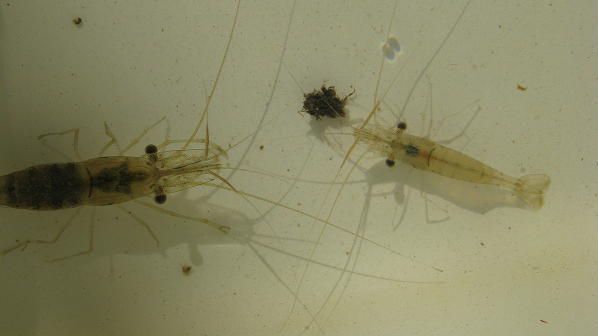 South-west glass shrimp