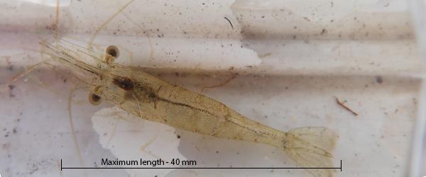 Glass shrimp Palaemon australis