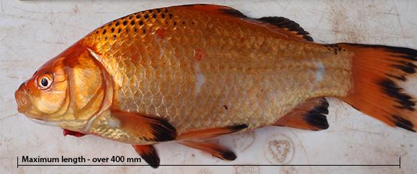 Goldfish - Carassius auratus