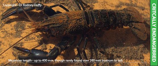 Hairy marron Cherax tenuimanus