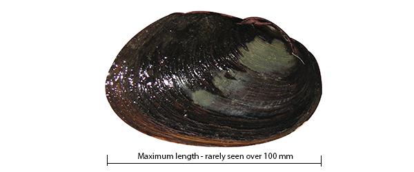 Carters freshwater mussel Westralunio carteri