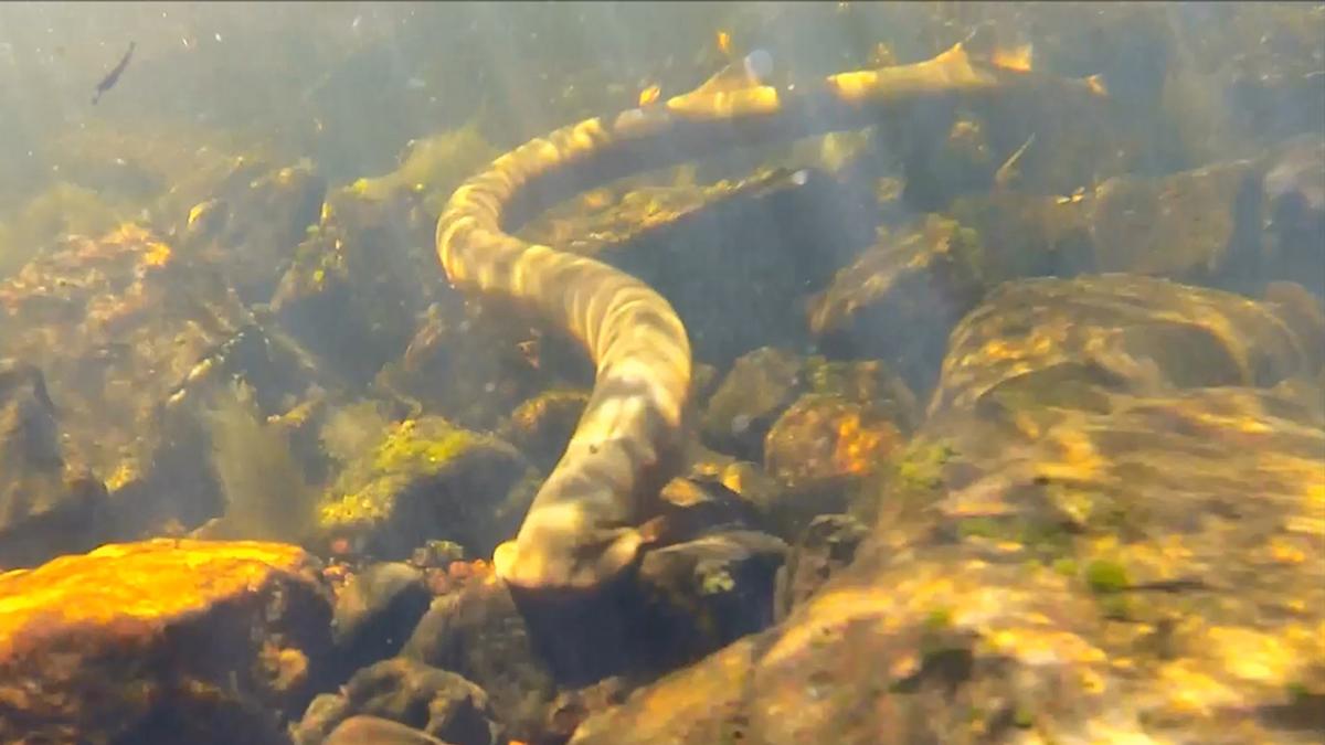 Pouched lamprey