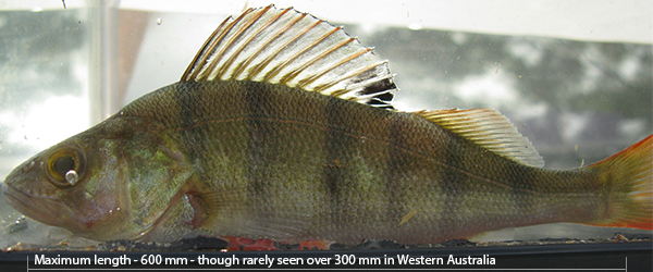 Redfin perch - Perca fluviatilis
