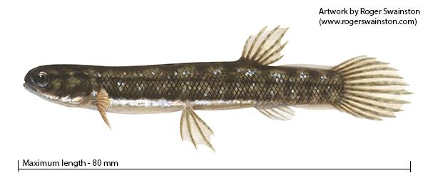 Salamanderfish - Lepidogalaxias salamandroides