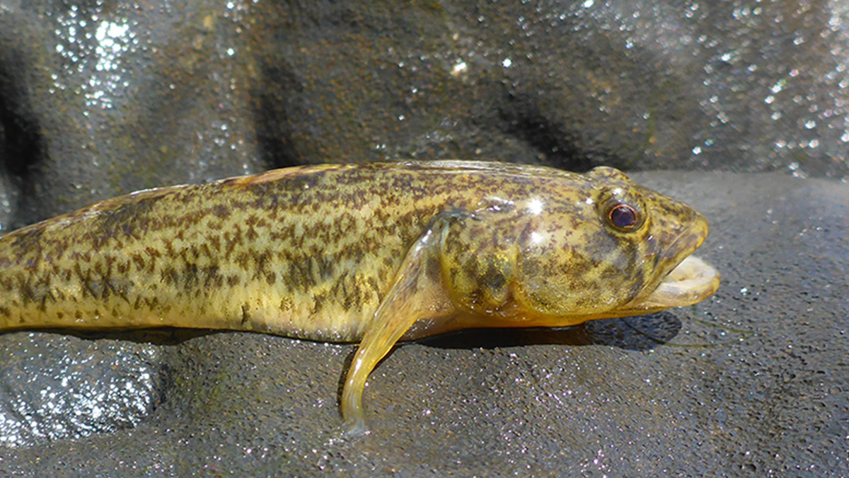 South-western goby