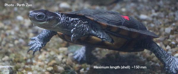 western swamp tortoise Pseudemydura umbrina