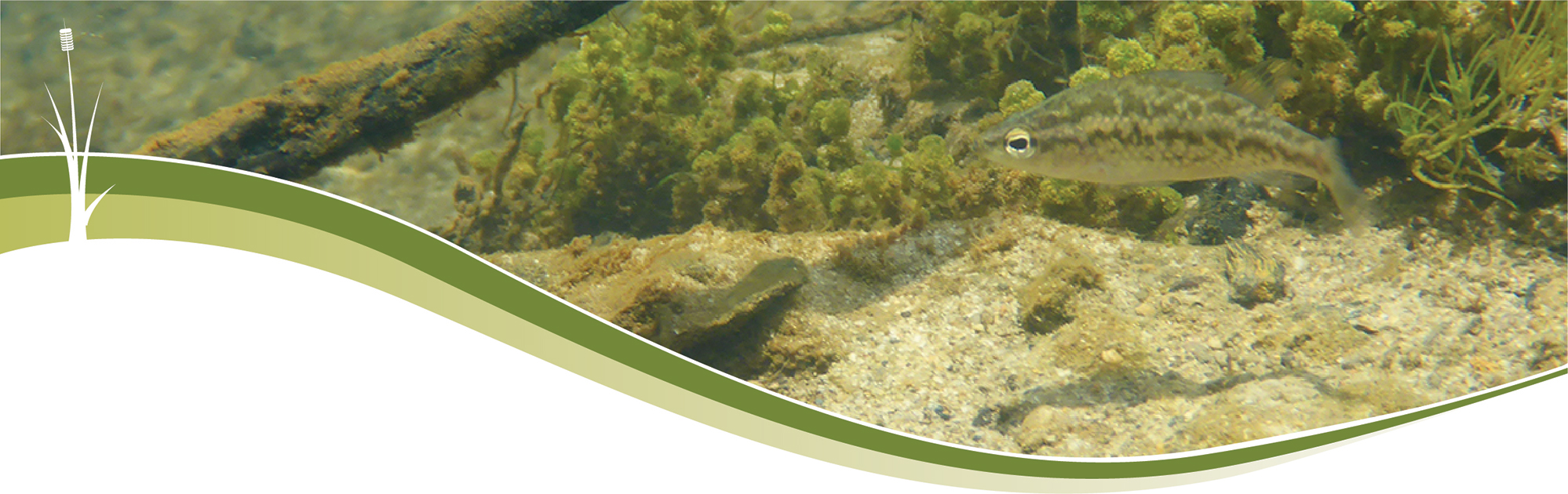 Header image of a fish around seagrass